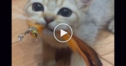 Kitten REFUSES To Let Go Of His Favorite Birdie Toy…Just Take One Look At That Face, Awww! LOL