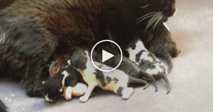 Mama Cat Loses All Her Kittens, But When A Litter of Motherless Kittens Arrives….Watch This MIRACLE!