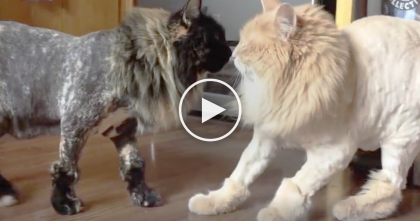 They Cut This Cat's Hair, But When His Sister Sees Him…OMG The Reaction Is Just Too Much!