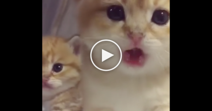 Watch These Little Fluffy Kittens, They're SOO Cute, They Could Melt The Coldest Heart… OMG!