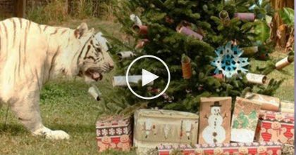 Big Cat Rescue Throws Huge Christmas Party For Big Cats… Just Watch, The Results Are Hysterical!