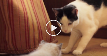 Doctors Gave This Kitty Months To Live…But Foster Mom Refuses To Give Up! Watch This Miracle!