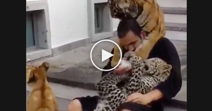 He Sits Down On The Stairs, But Just Watch What These Big Cats Are Doing… AMAZING.