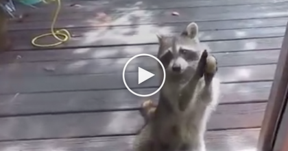 Raccoon Eats All The Cat's Food, But When He's Finished… Just Watch What He Does Next, LOL!