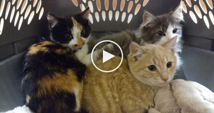 Terrified Feral Kittens Finally Experience Love From Humans And Their Reaction Is PRICELESS, Just Watch…