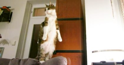 Hilarious Cat Does The FUNNIEST Thing Every Day When He Wants To Stretch… OMG, It's Hilarious!