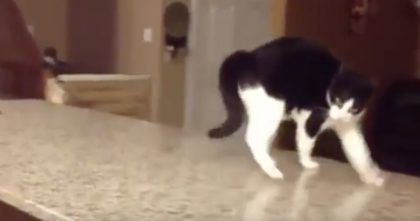 Kitty Sees Something Behind Camera, But I've NEVER Seen A Cat Walk Like This… OMG, Just Watch!
