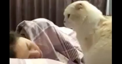 "She Recorded What Her Cat Does In The Morning… Just Watch, It's Adorable, ""Hey, Wake Up!"""