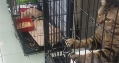 They Put This Cat In His Cage, But Then Moments Later… Just Watch What This Cat Does, WOW.