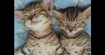 Twin Kittens Taking A Nap Together Is Seriously The CUTEST Thing You'll See All Day… Watch!