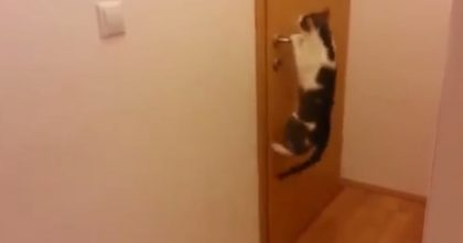 OMG, When This Cat Climbs Up On The Door… Just Watch, Now He Does It Every Day, Hahaha!