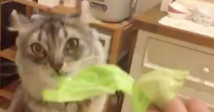 When His Human Is Making Food, Kitty Demands To Try Some Too… Hahaha, This Is FUNNY!!
