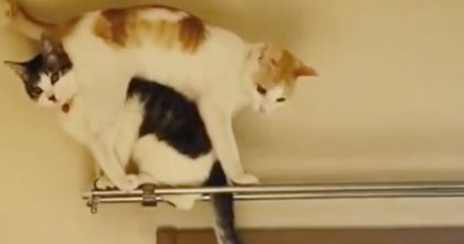 Cat Tries Backing Up Over His Friend, But Just Wait For It… He Didn't Expect That, Hahahaha!!