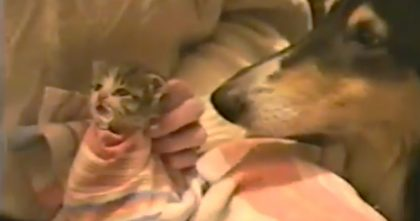 Watch The Dogs Reaction After Noticing Tiny New Rescue Kitten… Keep Watching Till The End, AMAZING!