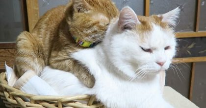 Watch What Ginger Cat Does When He Notices His Friend Sleeping, ADORABLE!!