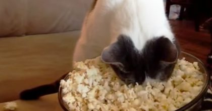Watch What Happens When This Cat Discovers Popcorn For The First Time… Hahahaha, This Is Hilarious!