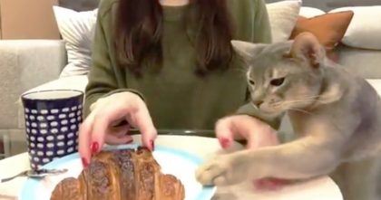 When this cat smells some food, it's a helpless situation, LOL… Just watch the cats reaction!