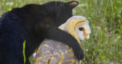 Cat becomes friends with an owl, but when they play together, the results are TOO cute!