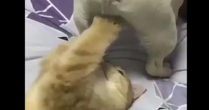 Cat discovers a new toy, but doggie doesn't care… I feel bad for laughing, but this is TOO MUCH… Hahaha!!