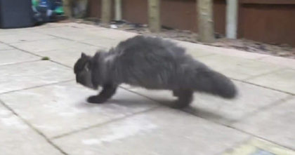 Cat Looks Normal At First Glance Until You See Him Running Towards You… WOW, Seriously Amazing!