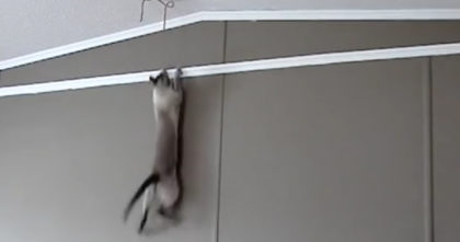 Cat notices something stuck on the ceiling, but watch what she does to get it… OMG, nooooo way?!