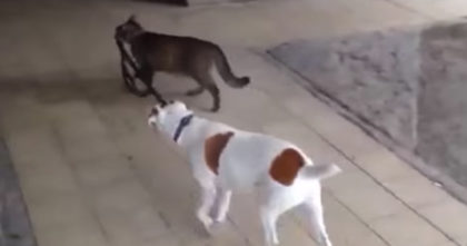 Cat Pics Up The Dogs Leash, But When You Keep Watching, You Won't Stop Laughing… Hilarious!!