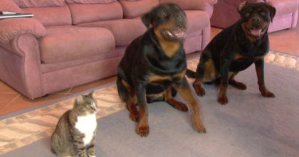 """He Told His Dogs To """"Roll Over"""" But Then I Couldn't Believe It… Just Watch The Cat's Reaction!!"""