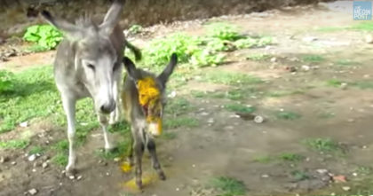 Donkey crying out for people to help her Injured Baby… Now watch when her request is answered!