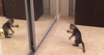 Kitten Sees His Reflection In The Mirror For The First Time, But Then Goes NUTS… This Is TOO Funny!!