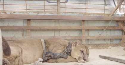 Mountain lion spent 20 years chained to a truck, but when he gets rescued, his reaction is priceless