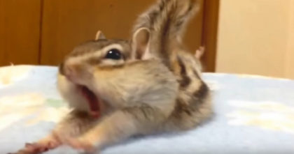 Pet Chipmunk Has The FUNNIEST Reaction When He Discovers Fresh Bed Sheets… hahahaha!!