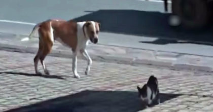 Pitbull Dog Noticed Injured Stray Cat On The Road, But Then Does The Most Amazing Thing