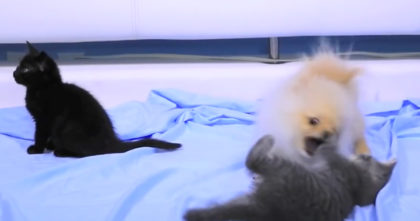 Puppy meets kittens for the for the first time, but watch the response… This is the CUTEST EVER.