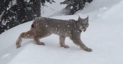 She saw a wild lynx coming out of the forest, so she pulled out her camera… Now watch what she recorded!