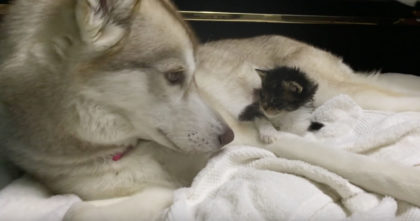 Terrified kitten lost her mom, but when they introduced her to the dog… It's just AMAZING!!