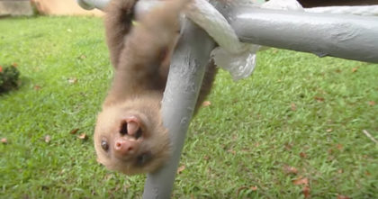 "Tiny Baby Sloth Opens His Mouth And Starts ""Talking"", But When You Hear The Sound… CUTEST Thing Ever!"