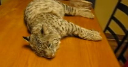 Watch His Reaction When A Human Starts Petting A Wild Rescue Bobcat… This is AMAZING!!