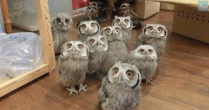 Watch These Owls Like You've Never Seen Them Before… The Results Are Just TOO Funny, Omg!!