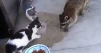 A Raccoon Didn't Know He Was On Camera — I Lost It When I Saw What They Caught Him Doing