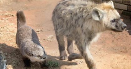 Baby otter meets big lions and hyenas, but when I saw her response… I have no words for THIS.