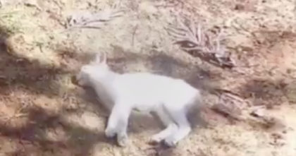 "Cat fell off a balcony and appeared ""dead"", but after day 7… I gasped when I saw the ending!"