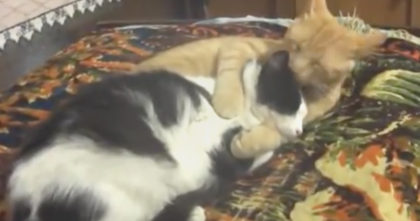 Cat Starts Licking His Friend, But Then The Hug At The End… This Is Just TOO CUTE, Awwwww!