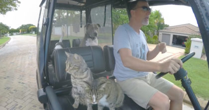 Cats jump into golf cart for a ride, but then he turns up the music… I can't stop laughing, hahaha!!