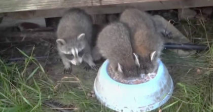 Man is recording the raccoons drinking milk, but when he looks closer he relizes the hilarious truth