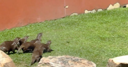 Otters notice butterfly the first time, but their response has me crying with laughter… Hahahaha!!