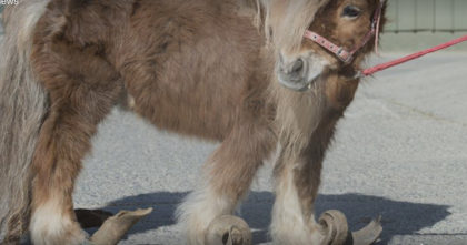 Pony's hooves hadn't been trimmed in over 10 YEARS… Now watch his reaction when he can finally run!