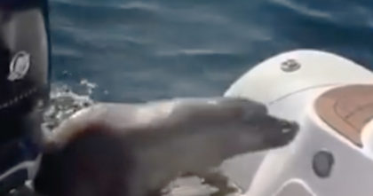 Seal scrambles on boat, but when I saw the killer whales… I was on the edge of my seat watching THIS!!