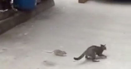 They noticed a rat chasing the cat, but when they start recording… I can't stop laughing, Hahaha!!