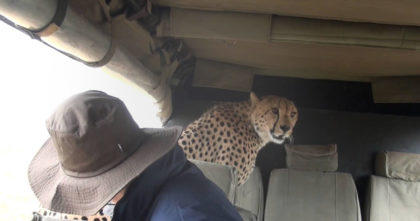 Tourists notice cheetah coming toward them, but when he jumps up… They never expected THIS.