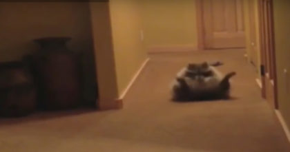 Watch the reaction when this raccoon learns how to summersault… Now he JUST can't stop, hahaha!!